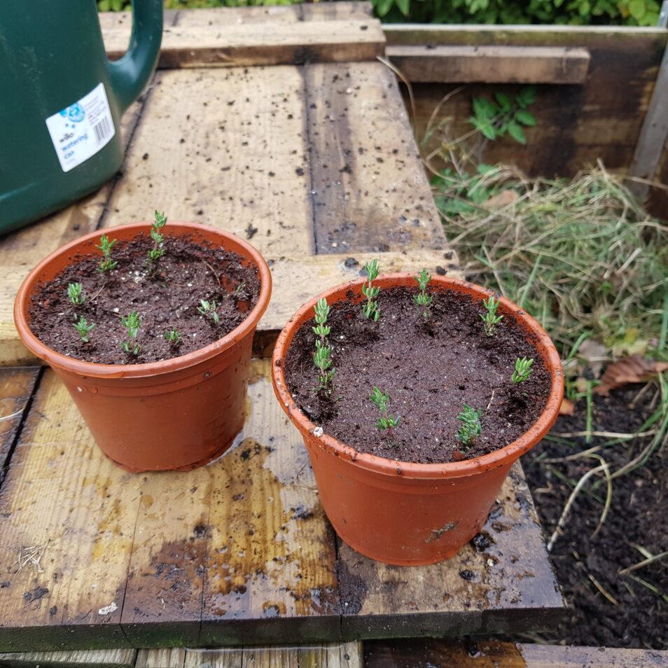 Thyme cuttings