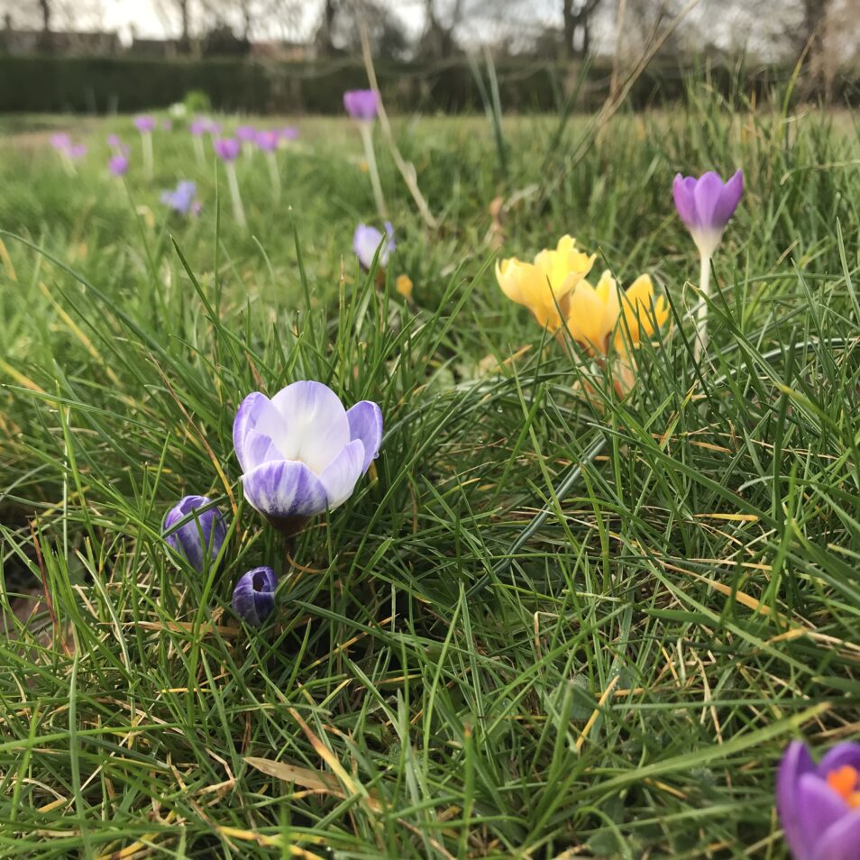 Looking forward to Spring... crocus' on the old bowling green