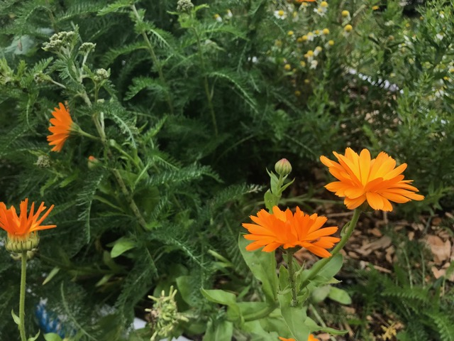 Calendula officinalis, (AKA pot marigold) which can flower throughout the year