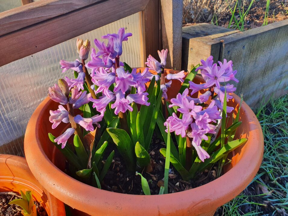 Potted spring hyacinths